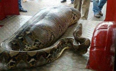 pythonkaarme28112013.jpg