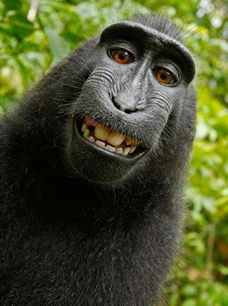Kuvan tekijänoikeus kuuluu kuvan apinalle.