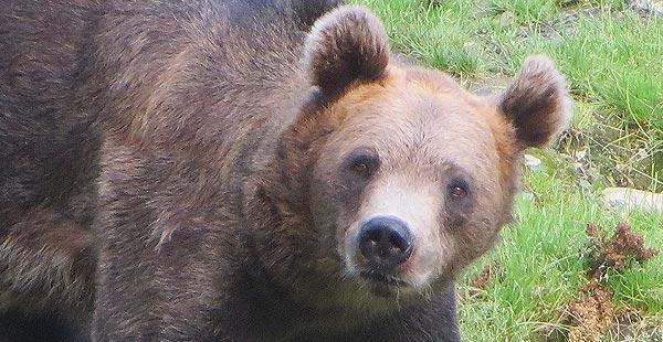 Kuvan karhu ei liity tapaukseen, Kuva: Stara